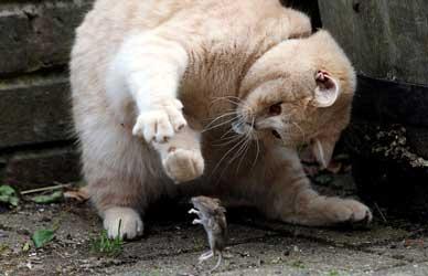 Картинка к бурятской сказке Хитрый кот